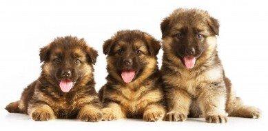 German Shepherd puppies, six weeks old